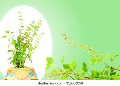 Medicinal tulsi or holy basil indian herb on white green background