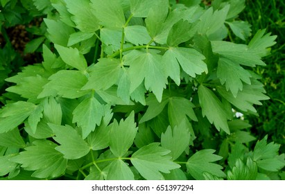 Medicinal Uses & Benefits of Lovage.