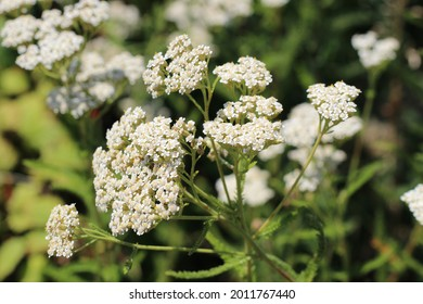 Medicinal wild herb Yarrow Achillea millefolilium . The plant during flowering , closeup