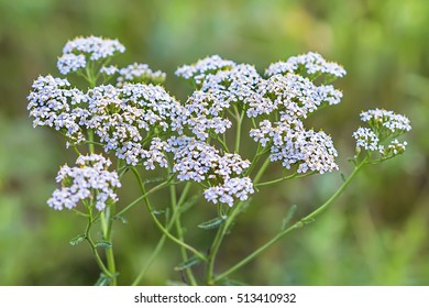 Medicinal wild herb Yarrow ( Achillea millefolilium ). The plant during flowering , closeup