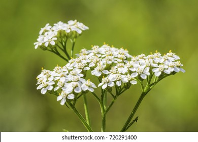 Medicinal wild herb Yarrow Achillea millefolilium . The plant during flowering , closeup