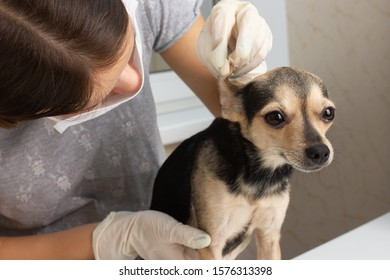Medicine for animals. The girl a veterinarian examines the toy terrier dog, check the ears