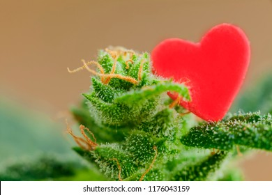 medicine cannabis plant red heart