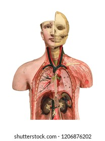 Medicine human body model isolated on white background