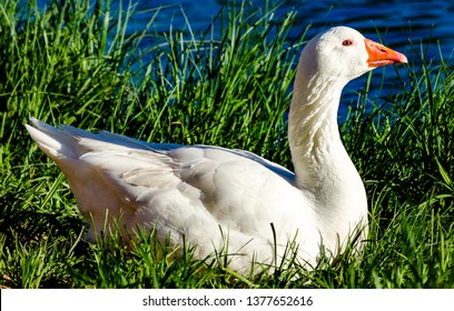 Medicine Park Oklahoma / United States - April 19, 2019:  Close up of a Emden Goose or domestic goose in Medicine Park, Oklahoma just outside of Lawton, OK.