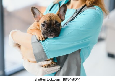 medicine, pet care and people concept - close up of french bulldog dog and veterinarian doctor hand at vet clinic - Image