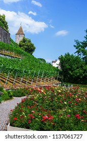 Medieval rose garden in Rapperswil, Switzerland, colorful roses, green grass, blue sky, old tower