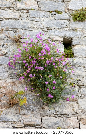 Medieval walls flowering shrub small pink stock photo edit now medieval walls and flowering shrub with small pink flowers mightylinksfo