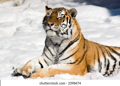 Meditating siberian tiger on snow background. Like a Sphinx. Winter.