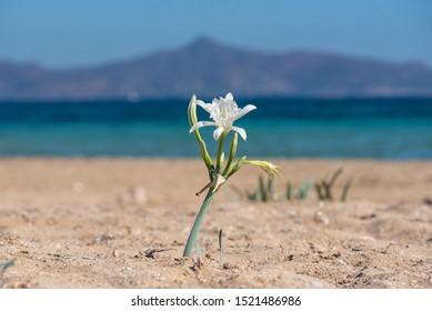 Mediterranean beach with flower in Greece at Agistri Island