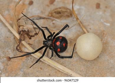 Mediterranean black widow (Latrodectus tredecimguttatus). Wild female in Sardinia with with egg sac