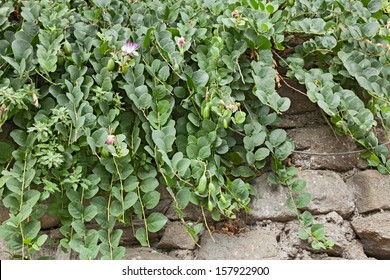 mediterranean caper plant on the wall with flowers and buds