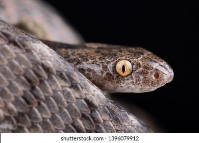 Mediterranean Cat Snake (Telescopus fallax iberus)