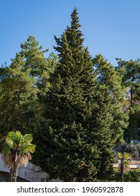 Mediterranean cypress tree with round brown cones against background of evergreens and blue autumn sky. Cupressus sempervirens, Italian cypress or pencil pine in landscape park resort town of Sochi.