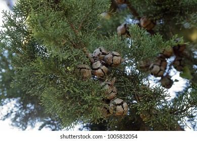 The Mediterranean cyprus, Cupressa sempervirens, showing its ball-shaped cones open to release seeds, photographed in Crete, Greece.