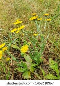 Mediterranean fleabane plant, Pulicaria odora, growing in Arousa Island, Galicia, Spain