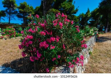 Mediterranean flowers in Greece