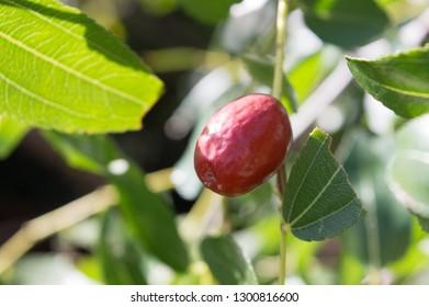 Mediterranean fruit jujube, Ziziphus jujuba, called chinese date or red date