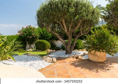 Mediterranean garden with olive tree, plants and garden path