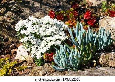Mediterranean garden, stones, Iberis Sempervirens, Senecio talinoides, Sedum reflexum Angelina, Sedum Rubrotinctum Jelly beans