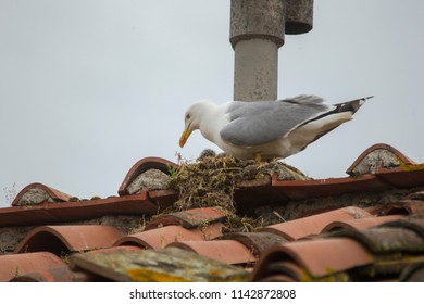 A Mediterranean gull in its nest with two fluffy chicks on a tiled roof on a house in the Italian town of Lucca in the province of Tuscany near Pisa