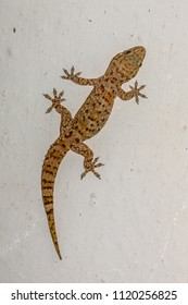 Mediterranean house gecko (Hemidactylus turcicus) climing vertically on white wall