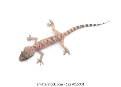 Mediterranean house gecko (Hemidactylus turcicus) isolated on white