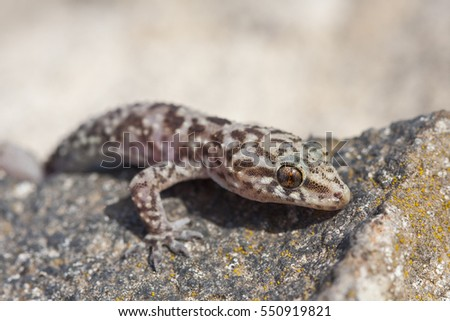 Mediterranean House Gecko Turkish Gecko Hemidactylus Stock Photo