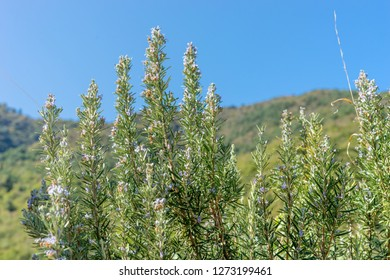 Mediterranean landscape with blue sky and blooming rosemary bushes