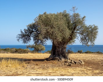 Mediterranean landscape with olive plantation, one of oldest tree trunk on the field. Old olive tree grows on sea shore in Greece.