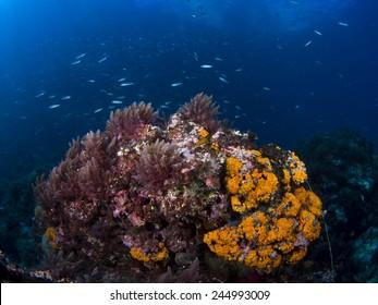 Mediterranean marine life, typical underwater envvironment of the Mediterranean Sea