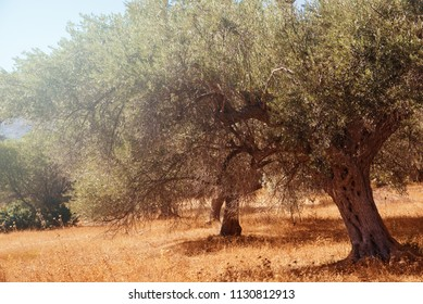 Mediterranean olive field with olive tree ready for harvest.