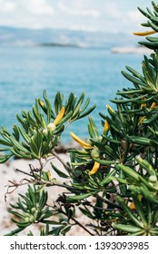 Mediterranean plant with the background of the sea