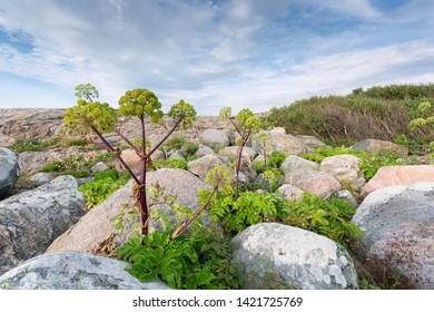 Mediterranean plant Rock Samphire or Crithmum maritimum in the rocks
