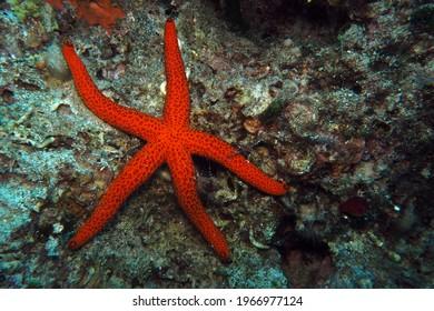 Mediterranean red sea star in Adriatic sea, Croatia