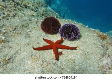A Mediterranean red sea star with two sea urchins underwater on a rock, Spain, Costa Brava, Catalonia, Cap de Creus