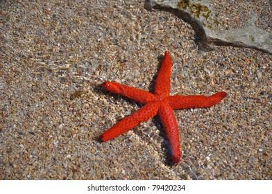 Mediterranean red starfish