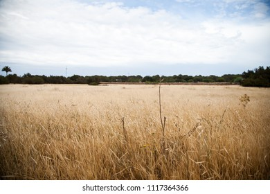 Mediterranean rural landscape with cereal cultivation and trees in the background