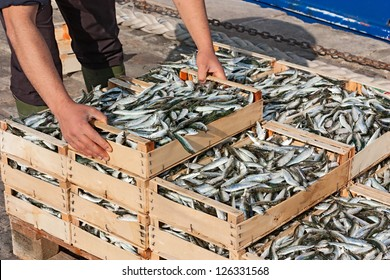 mediterranean sardines: fisherman making stack of crates full of freshly caught oily fish