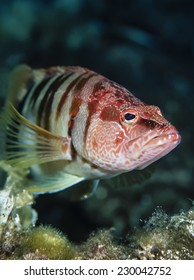 Mediterranean Sea,  serranoid fish (Serranus scriba) - FILM SCAN