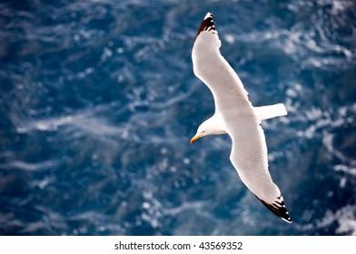 Mediterranean seagull called gabian