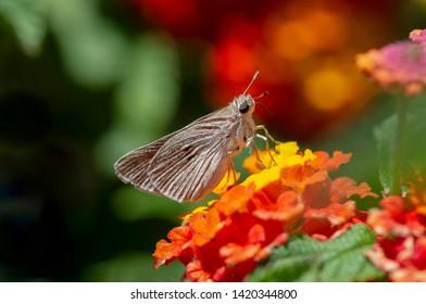 Mediterranean skipper butterfly, (Gegenes nostrodamus ), Andalusia, Spain.
