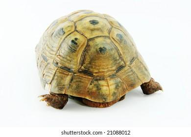 Mediterranean tortoise.Testudo graeca.