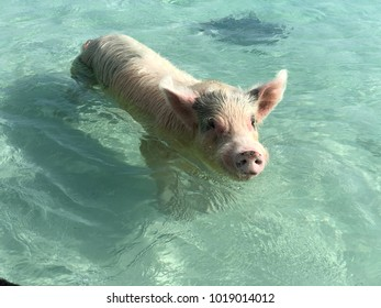 Medium close up of a pinkish black pig wading in the clear waters of the Pig Island in the Bahamas