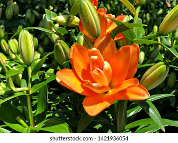 Medium close up, top shot of a blooming orange Asiatic lily flower