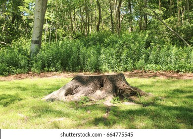 A medium to large tree stump after a tree was cut down in the park. The stump is surrounded by green grass and green bushes and foliage is in the background. nature Design, background, outdoors, build