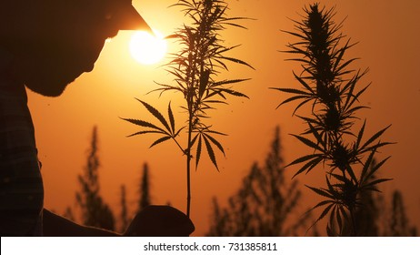 Medium shot of the man processing the marijuana field in the sunset background.