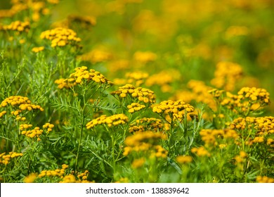 Medium Shot of Ragweed Flowers in a field, Blue Hill, Maine, USA.