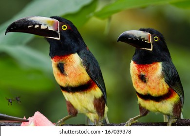 medium size aracari toucan in the rainforest of Belize