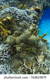 medium size tubulate sponge in a coral reef